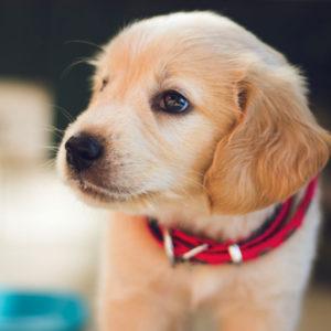 golden_pup