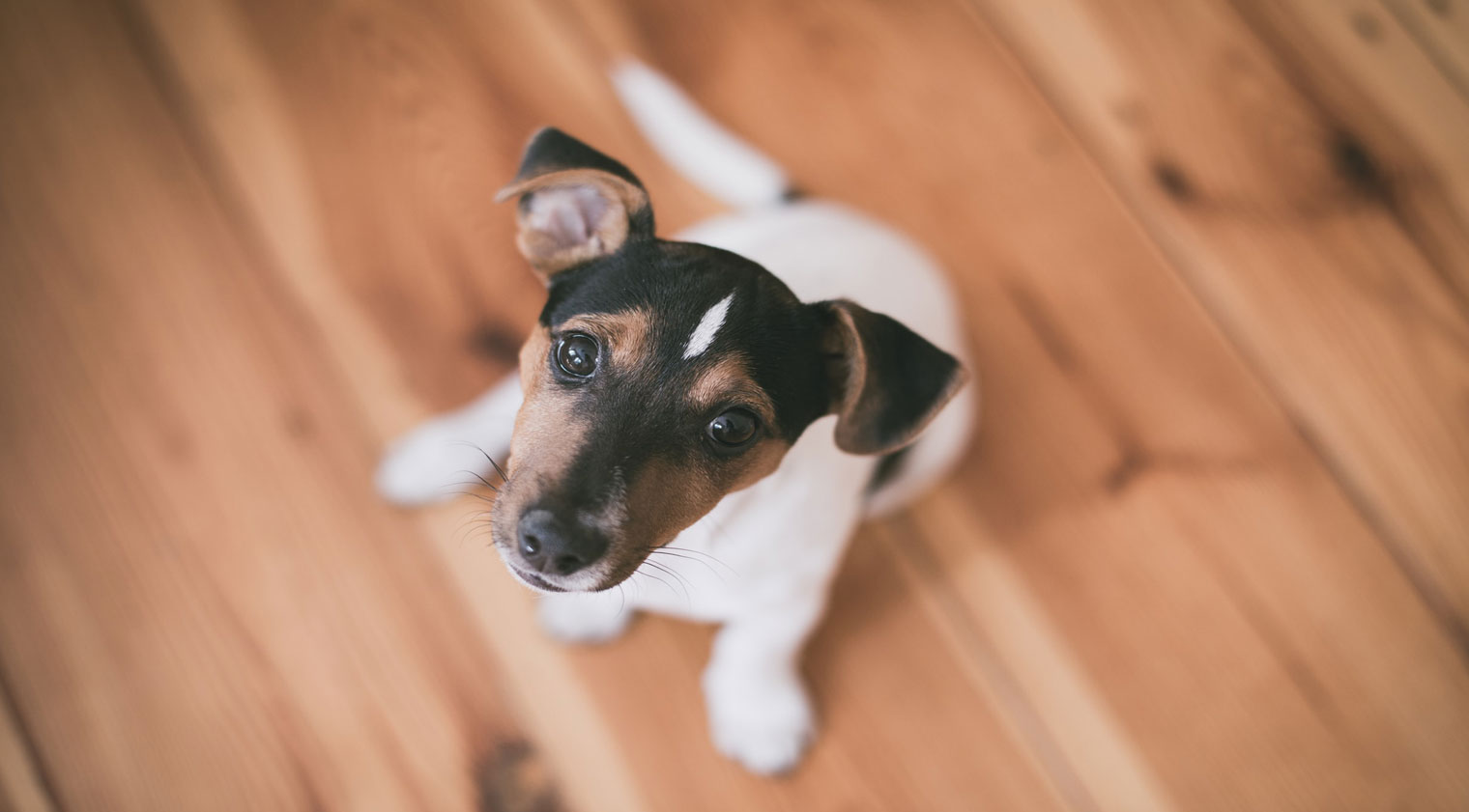 Jack Russell Sit