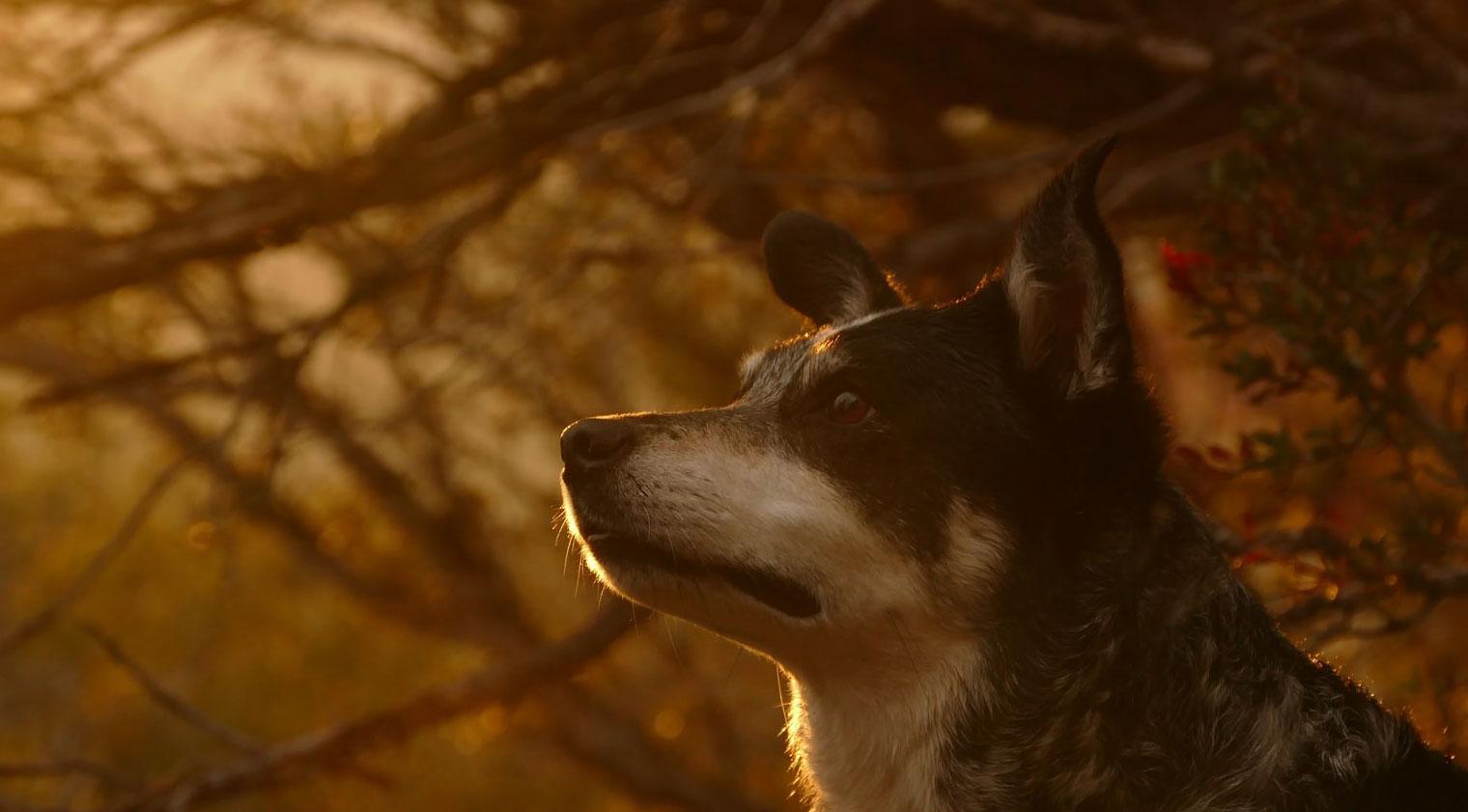 Dog gazing in haze