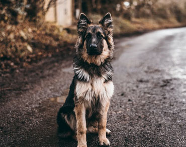 German Shepard Sit